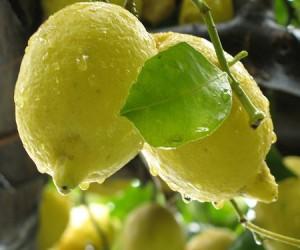 Limoni Amalfi